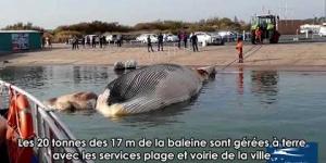 Une baleine rorqual commun dérivait au large du Cap d'Agde le 19 octobre 2018