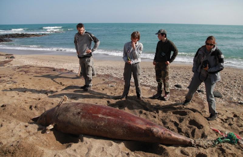 Un dauphin retrouv chou sur la plage du m le for Projet cap d agde 2020